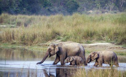 Wilde olifanten tijdens een safari in Nepal - Bardia National park