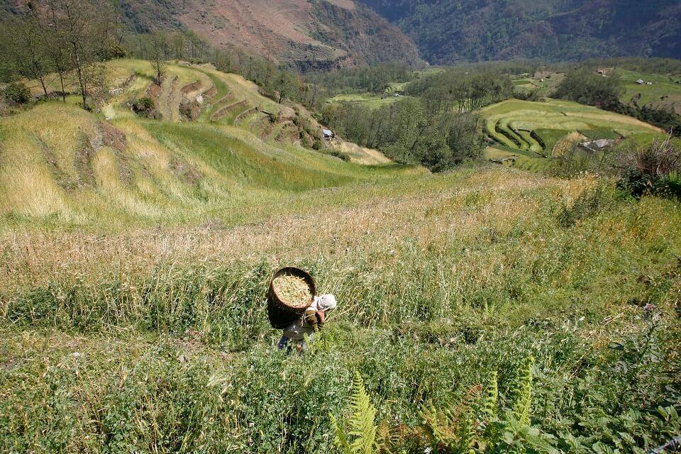 Annapurna Community trek – Nepalese boerin oogste rijst