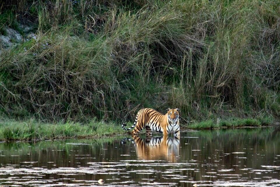 Safari in het Zuiden van Nepal – de Bengaalse tijger in Bardia National Park (4)