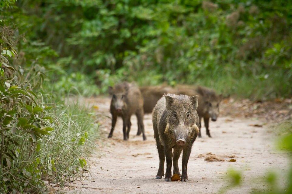 Safari in het Zuiden van Nepal – familie wilde varkens in Bardia National Park (5)