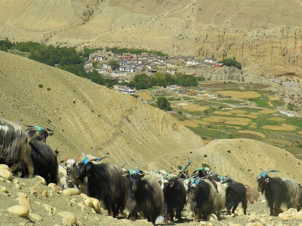 Upper Mustang trekking – een kudde geiten wordt naar de groene velden gebracht